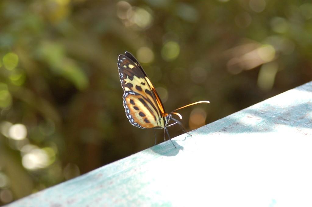 Farfalla di Iguazu