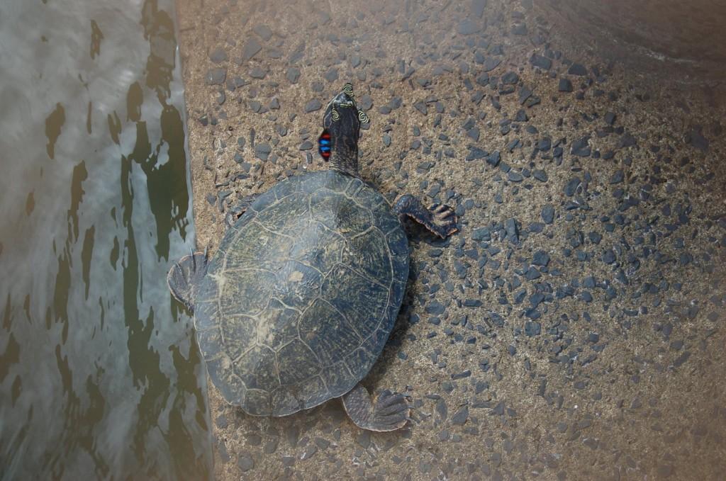 tartaruga lacustre
